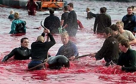 Des massacres de dauphins globicéphales se déroulent chaque année dans les îles Féroé