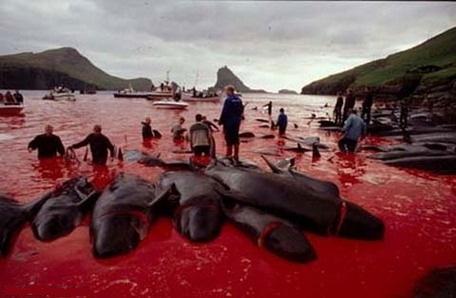 Sea Shepherd retournera aux îles Féroé durant l'été 2011