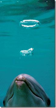 """les dauphins sont passés maîtres dans l'art surprenants des """"bubble rings"""""""