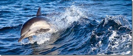 Nick Chill - dauphins dans une vauge