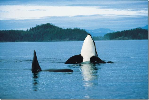 Deux orques, Canada. Source : http://www.1stclassholidays.com/