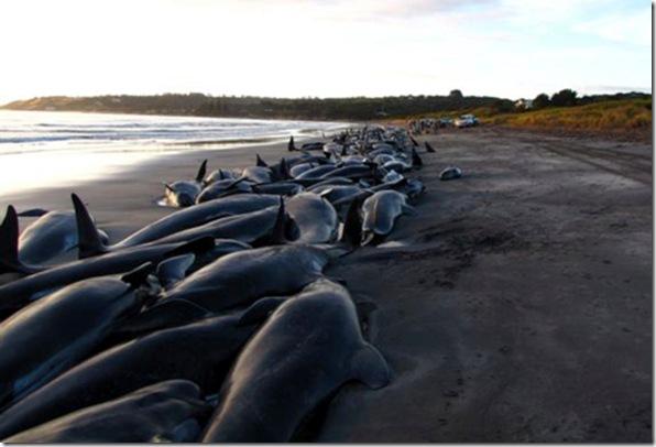 Echouage de cétacés en Australie. Les échouages de dauphins restent, à l'heure actuelle, mal compris