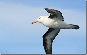 Geophaps - Albatros (Thalassarche melanophrys)