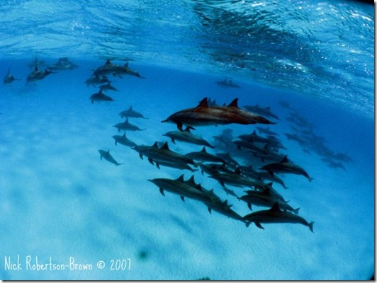 Nick Robertson-Brown - Tribu de dauphins communs
