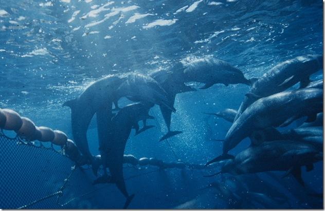 Pourquoi les dauphins ne sautent-ils pas au dessus des filets de pêche ? Source : http://legalplanet.files.wordpress.com/