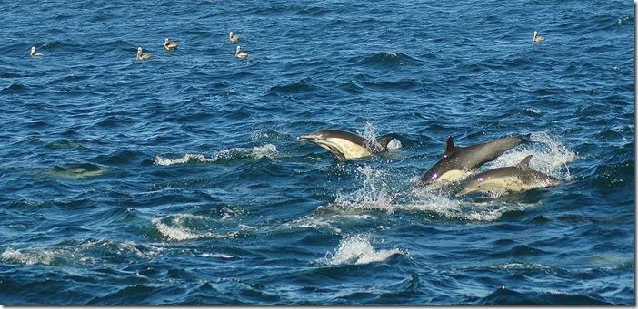 Princey's pics - Les oiseaux tropicaux utilisent également les dauphins pour localiser les poissons
