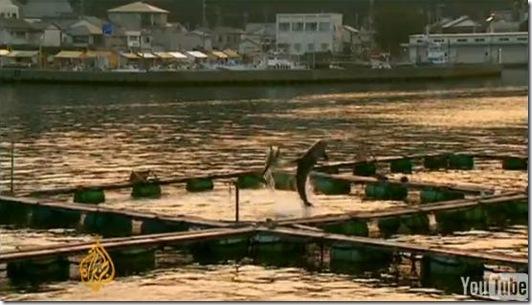 Reportage d'Al Jazeera à Taiji - les dauphins ont pour l'instant été revendus à des delphinariums