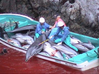 Les massacres de dauphins au Japon (ici à Taiji) ont été condamnés par la Cour International de Justice des Droits de l'Animal