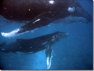gwoodford - Baleines à bosse