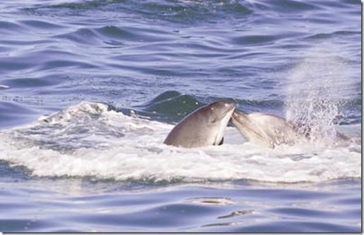 Dauphin frappant un marsouin avec son rostre - Photo de Mercury