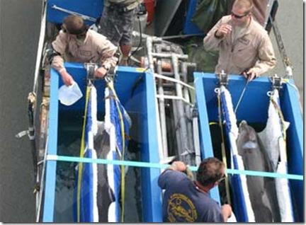 dauphins militaires de la Navy transportés dans leurs bacs spéciaux, entre  Chaleix et Nouméa - Photo www.lesnouvelles.pf