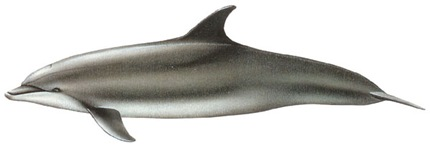 Grand Dauphin (Tursiops truncatus) - Image www.dfo-mpo.gc.ca