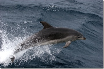Lacewing - Dauphin dans les vagues