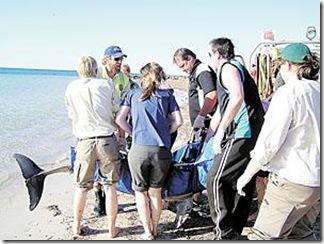 Le sauvetage d'un dauphin à Yorke, en Australie - Photo du Yorke Peninsula Country Times