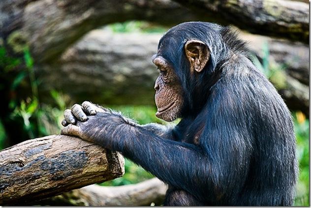 Chimpanzé dans une pose réflexive - Photo irishwildcat