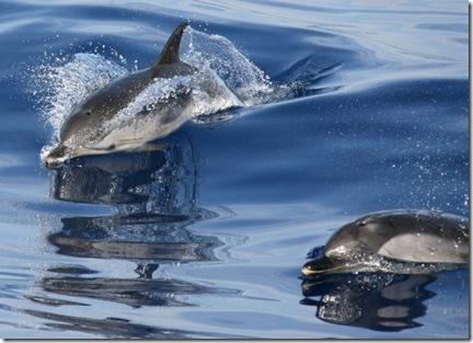 Des dauphins bleu et blanc, le 19 juillet 2006 au large de Nice - Photo AFP