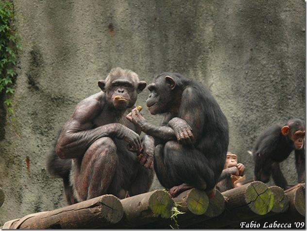 Les stratégies d'adaptation des grands singes ne sont pas sans rappeler les nôtres - Phot de Fabio Labecca