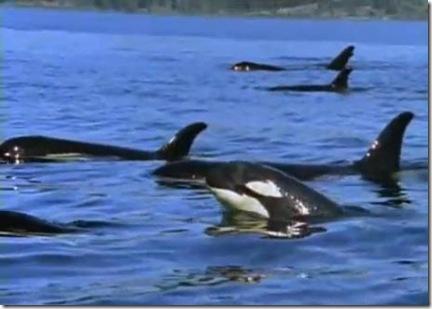 Documentaire Orques les prédateurs des mers - National Geographic