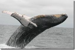 Contre la chasse à la baleine à bosses