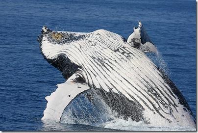 Baleine à bosses - Photo : Micheal.Dawes