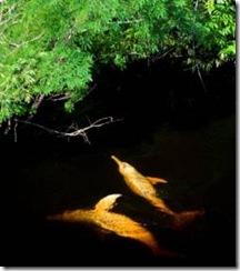 Deux dauphins rose d'Amazonie