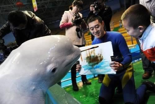 Un Beluga à qui on apprend à peindre...