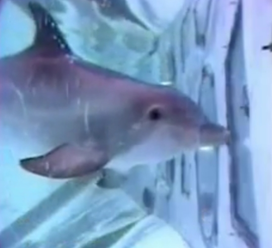 Pour les dauphins, le test du miroir implique la vidéo !