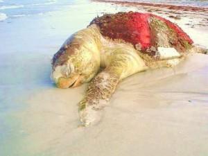 Le taux de mortalité des tortues est 250 fois supérieur à la normale