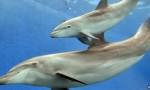 Des scientifiques réclament une déclaration de droits pour les dauphins