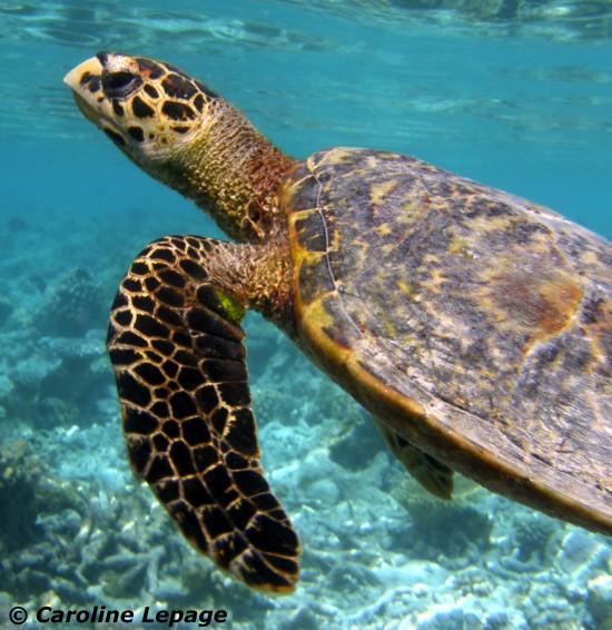 Les tortues marines sont-elles comestibles ?