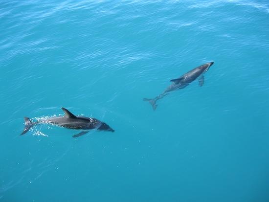 Deux dauphins nageant libres à Kaikoura
