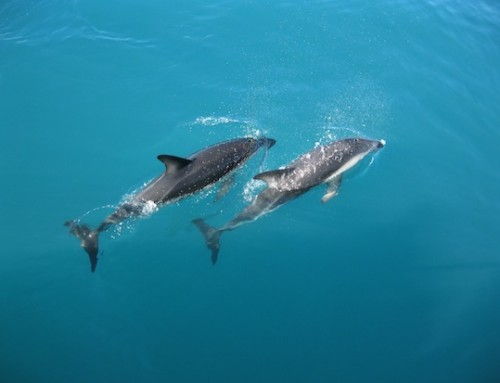 Swimming With Dolphins: Some Tips and Warnings