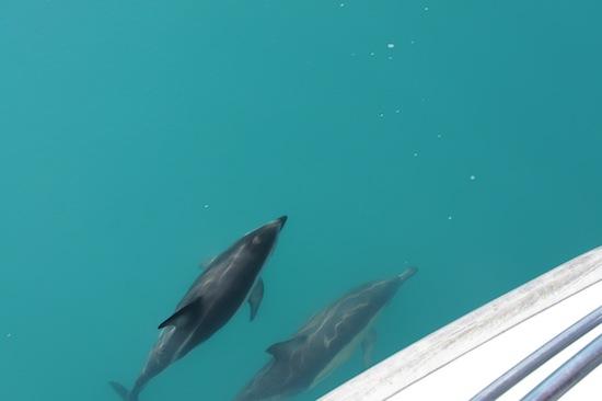 Rencontre avec des dauphins à Kaikoura, Nouvelle-Zélande