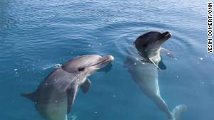 les dauphins ont du apprendre à attraper leur nourriture avant d'être relâchés.
