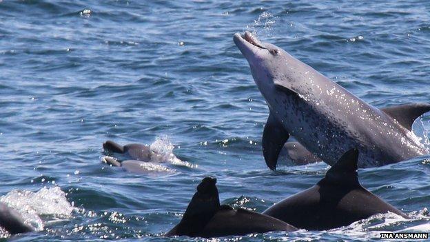 Sociétés de dauphins : deux groupes autrefois distincts s'unissent