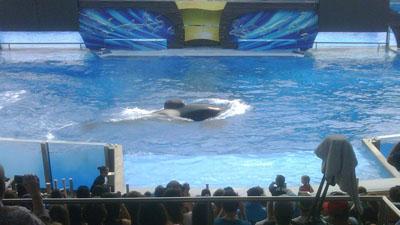 Tilikum lors d'un show du SeaWorld
