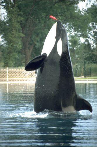 l'orque Sharkane