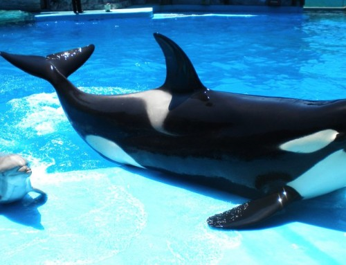 The orcas of Marineland Antibes