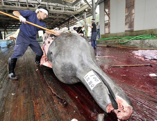 Les campagnes de chasse se poursuivent au Japon, malgré la pression des associations écologistes, pour des raisons nationalistes. | AFP/YOSHIKAZU TSUNO