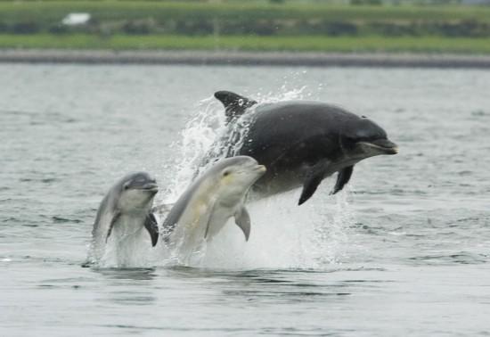 Petite famille de grands dauphins de l'Atlantique Nord