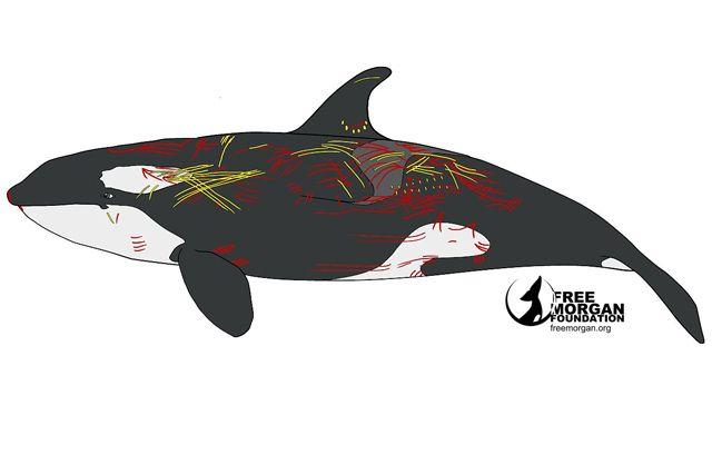 Les attaques subies par l'orque Morgan