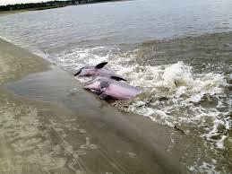 Les dauphins de l'île de Seabrook