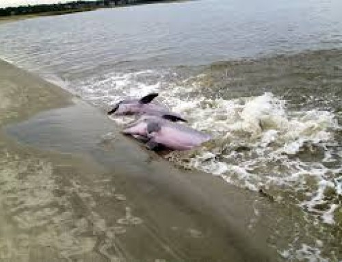 The dolphins of Seabrook Island