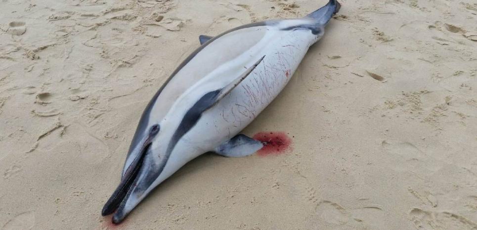 Plus d'une centaine de dauphins échoués sur la côte Atlantique depuis début mars