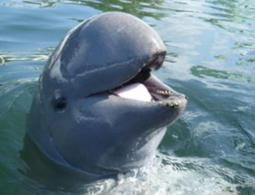 Un sanctuaire de dauphins rares protégé au Bangladesh