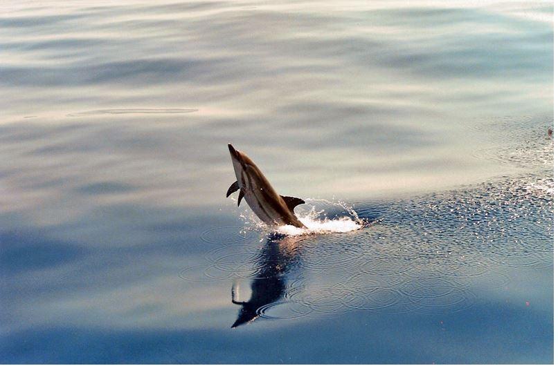 VIDEO. Des dauphins batifolent dans le Golfe de Saint-Tropez