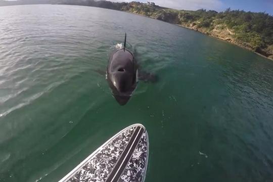 Rencontre avec une orque bien curieuse en paddle