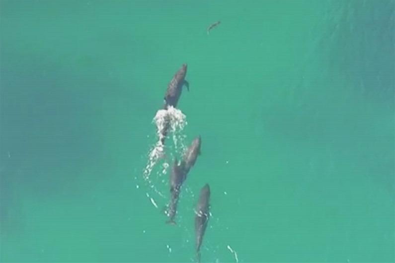 VIDÉO – Australie : les images rares d'un requin pris en chasse et tué par des fausses orques