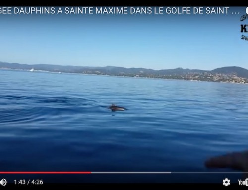 Dolphins frolicking in the Gulf of Saint-Tropez
