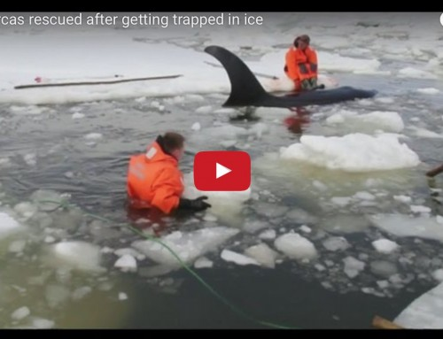Video – Russia: They (actually) saved Willy the orca and his three friends from an icy death